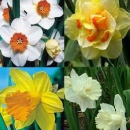 Narsissit - Loppuunmyyty